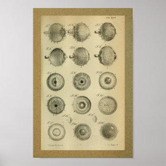 1850 muscles d'oeil vintages d'impression posters