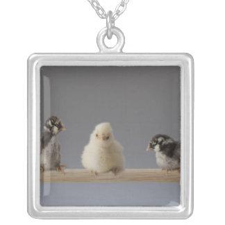 7 poulets d'animal familier de bébé sur une perche collier