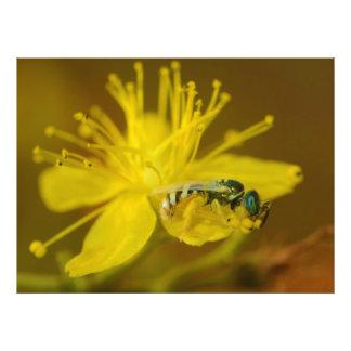 Abeille femelle jaune rassemblant le pollen photographies