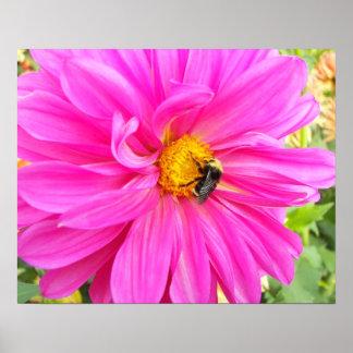 Abeille sur le dahlia rose floral poster