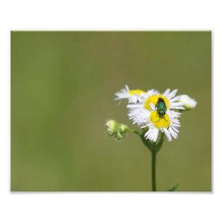 Abeille verte sur la fleur blanche tirage photo