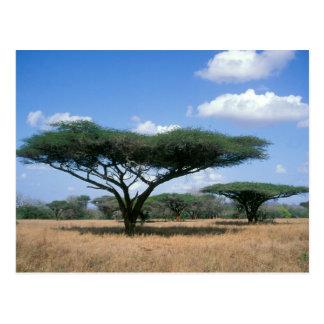 Acacia d'épine de parapluie (tortilis d'acacia), carte postale