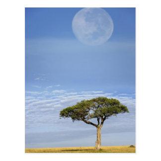 Acacia d'épine de parapluie, tortilis d'acacia, et carte postale