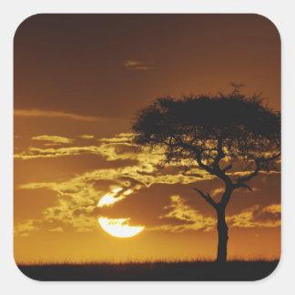 Acacia d'épine de parapluie, tortilis d'acacia, sticker carré