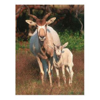 Addax/antilope blanche/antilope de Screwhorne Carte Postale