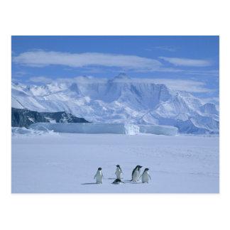 Adeliae de pingouins, de Pygoscelis d'Adelie), Carte Postale