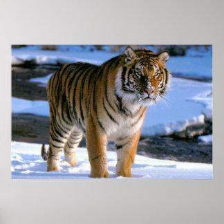 Affiche affectueuse de tigre de neige