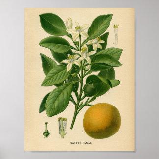 Affiche botanique vintage - orange douce posters