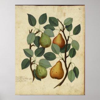 Affiche botanique vintage - poire poster
