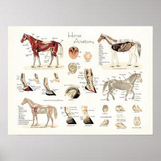 Affiche d'anatomie de cheval poster