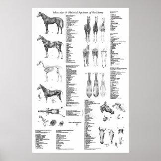 Affiche d'anatomie de cheval squelettique et poster
