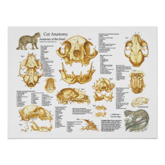 Affiche d'anatomie de crâne de chat domestique poster