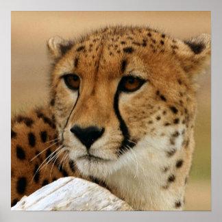 Affiche de guépard