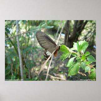 Affiche de papillon coupée la queue par hirondelle