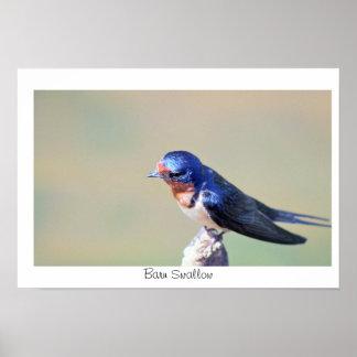 Affiche de photo d'oiseau d'hirondelle de grange