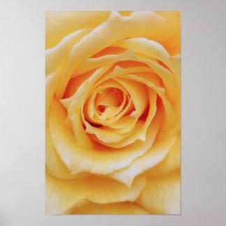 Affiche de rose jaune poster