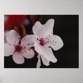 Affiche - fleurs de cerisier