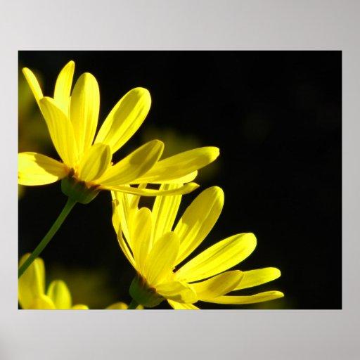 Affiche - fleurs jaunes de marguerite