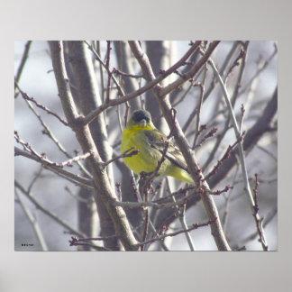 Affiche - oiseau jaune dans les branches posters