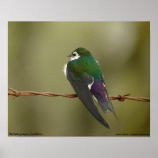 affiche Violet-verte d'hirondelle