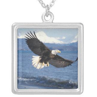 aigle chauve, leuccocephalus de Haliaeetus, en vol Collier