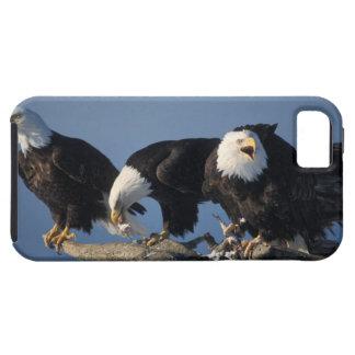 aigles chauves, leuccocephalus de Haliaeetus, Coque Tough iPhone 5