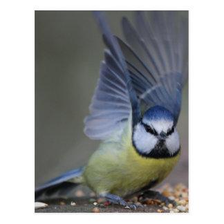 Ailes d'oiseau de mésange bleue belles carte postale