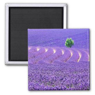 Aimant Arbre solitaire dans le domaine de lavande, France