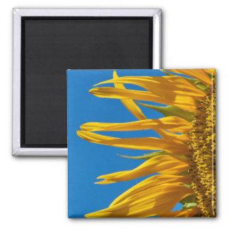 Aimant : Beaux tournesols devant un ciel bleu
