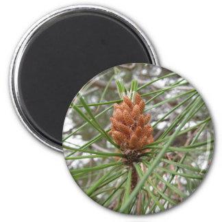 Aimant Cônes non mûrs de mâle ou de pollen de pin