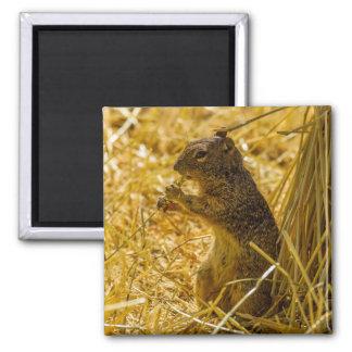Aimant Consommation d'écureuil de roche