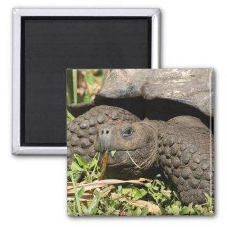 Aimant Consommation | Galapagos de tortue géante