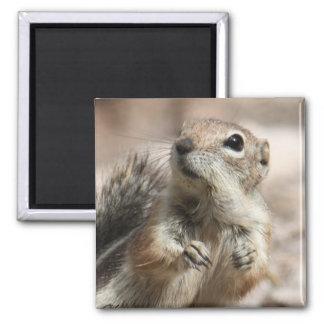 Aimant curieux d'écureuil