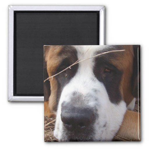 Aimant de carré de chien de St Bernard