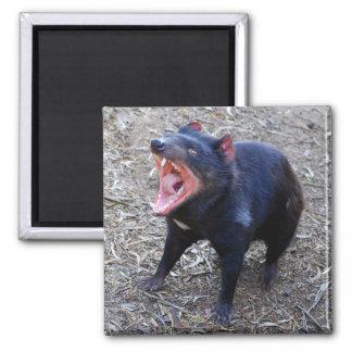Aimant de diable tasmanien