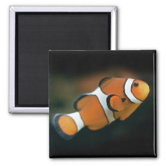 Aimant de Nemo