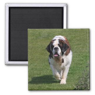 Aimant de photo de chien de St Bernard bel