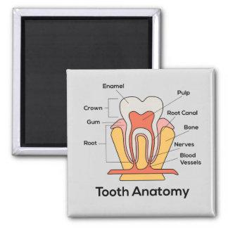 Aimant Diagramme d'anatomie de dent