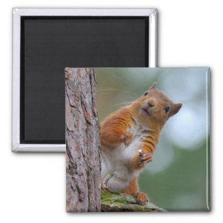 Aimant Écureuil rouge sauvage dans la photo écossaise de