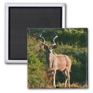 Aimant est de Kudu de cap