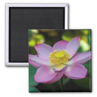 Aimant Fleur de lotus de floraison, Indonésie
