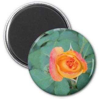 Aimant fleur orange de rose jaune