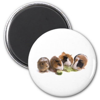 Aimant four guinea pigs who eat,