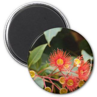 Aimant Gomme fleurissante rouge (ficifolia de Corymbia)
