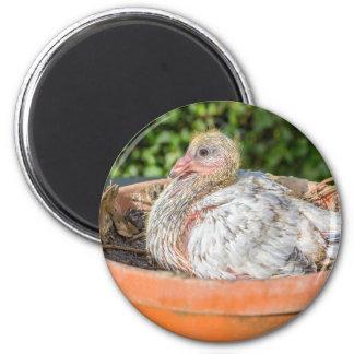Aimant Jeune pigeon de courrier dans le nid scale.JPG