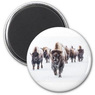 Aimant La neige a couvert le bison, le parc national en