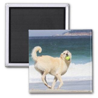 Aimant Labradoodle - jour heureux sur la plage