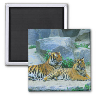 Aimant Le destin de rayures de chat de tigre du destin