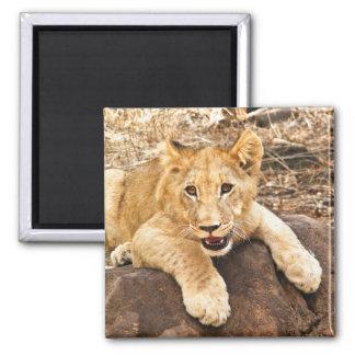Aimant Le tigre CUB prend le reniflard sur une roche