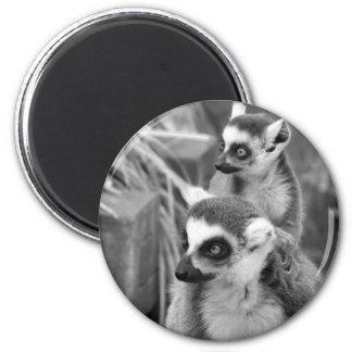 Aimant lémur Anneau-coupé la queue avec le bébé noir et